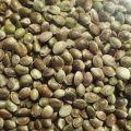 Zdjęcie: Konopie, nasiona konopi oleiste z atestami ! hurt